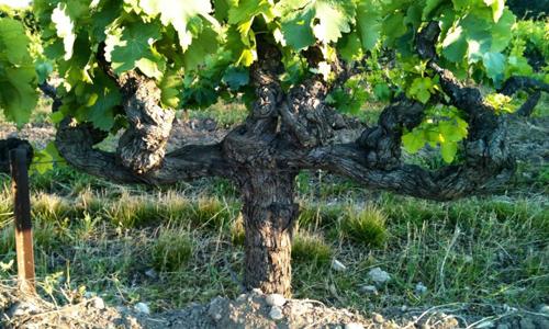 wijnboeren-dijkman-gaard